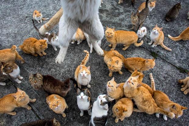 Cambada de gatos ficou em êxtase enquanto disputavam comida na ilha de Aoshima (Foto: Thomas Peter/Reuters)