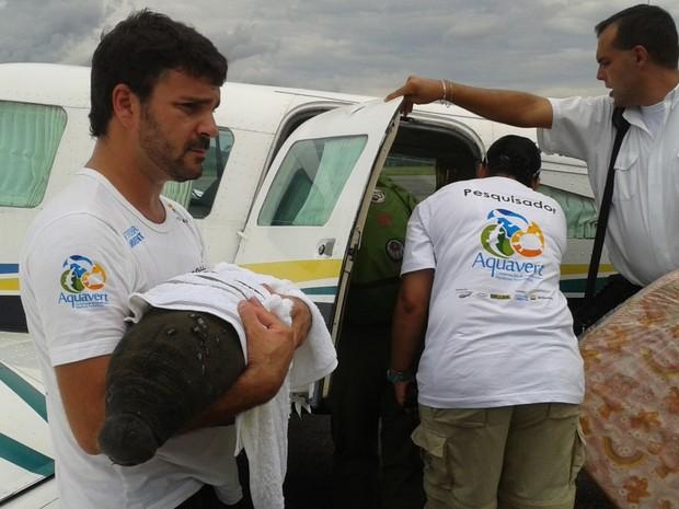 Peixe-boi foi embarcado em avião em Cruzeiro do Sul (Fot Genival Moura/G1)
