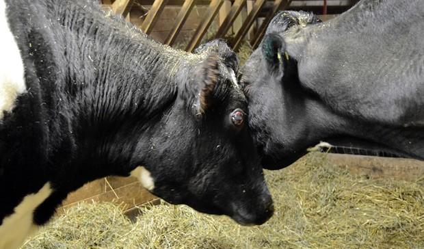 Vacas Tricia (esquerda) e Sweety fizeram amizade assim que se conheceram. (Foto: AP Photo/Farm Sanctuary)