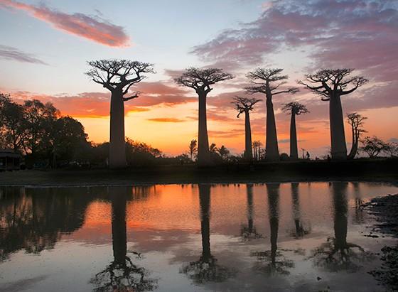 Adansonia grandidieri é a árvore ícone de Madagascar (Foto: © Haroldo Castro/Época )