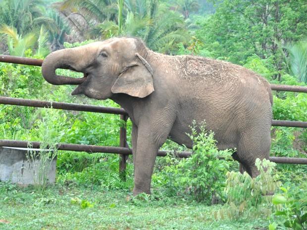 Elefanta Guida, habitante de santuário em MT (Foto: Carolina Holland/G1)