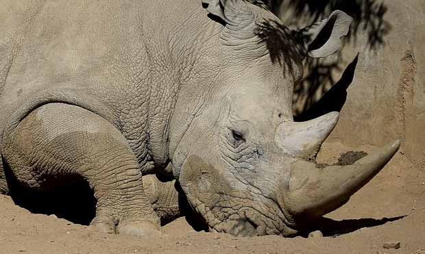 Rinoceronte é visto no Zoológico de Joanesburgo, na África do Sul, em 25 de julho de 2013. (Foto: AFP Photo/Stephane de Sakutin)