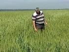 Agricultores do PR enfrentam problemas com as lavouras de trigo