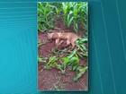 Puma é atropelado na PR-486, entre Assis Chateaubriand e Brasilândia