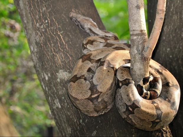 Jiboia foi flagrada 'descansando' em árvore no Parque dos Poderes (Foto: Felipe Bastos / G1MS)
