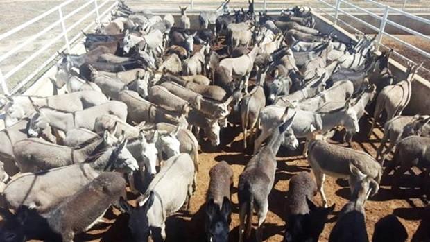 Jumentos reunidos para abate em frigorífico em Miguel Calmon (BA); atividade autorizada pelo Estado foi suspensa a pedido do Ministério Público  (Foto:   Divulgação/Agora na Bahia)