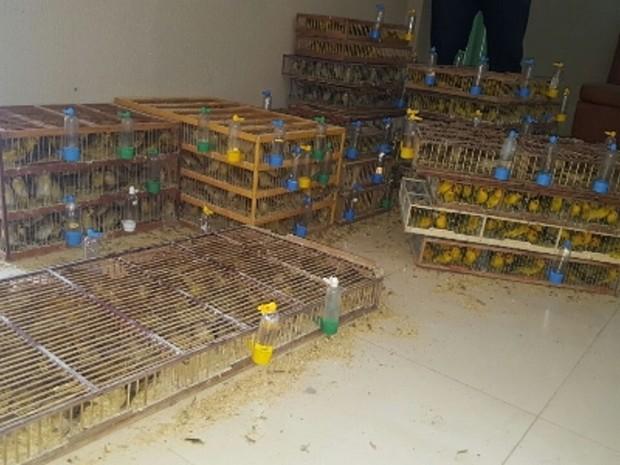 Cerca de 1,5 mil pássaros das espécies Canário-da-terra e Pintassilgo seriam vendidos em Fortaleza (Foto: Divulgação/SSPDS)