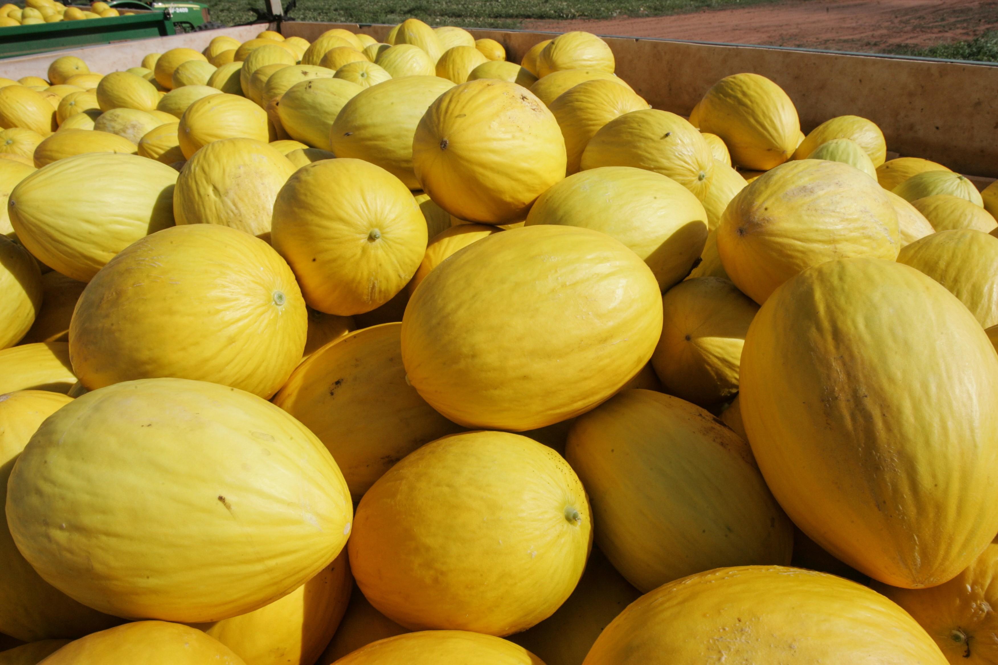 Melões da Bahia são distribuídos para o mundo (Foto: divulgação)