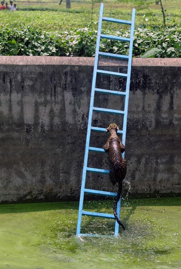 Leopardo usou escada para sair de reservatório de água em Sangatram. (Foto: Diptendu Dutta/AFP)