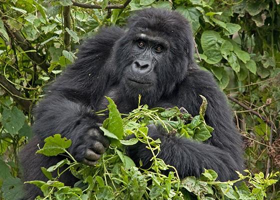 Uma gorila fêmea senta-se para comer as folhas de uma trepadeira. (Foto: © Haroldo Castro/Época)