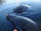 Viagem de peixes-boi de Pernambuco para ilha do Caribe é adiada