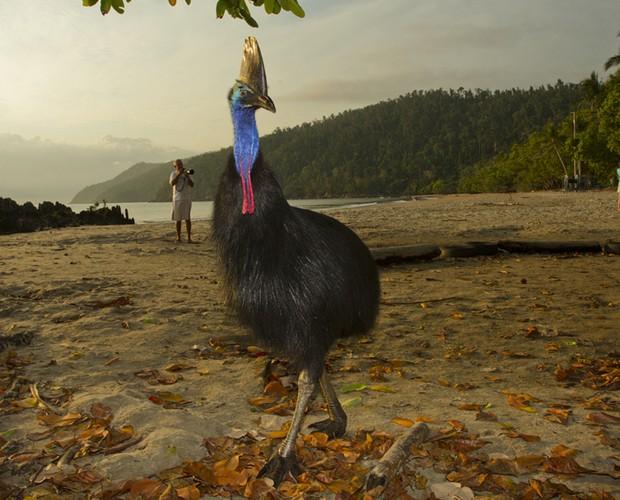 Em algumas praias da costa nordeste da Austrália os casuares andam tranquilamente em meio aos turistas (Foto: Domingão do Faustão / TV Globo)
