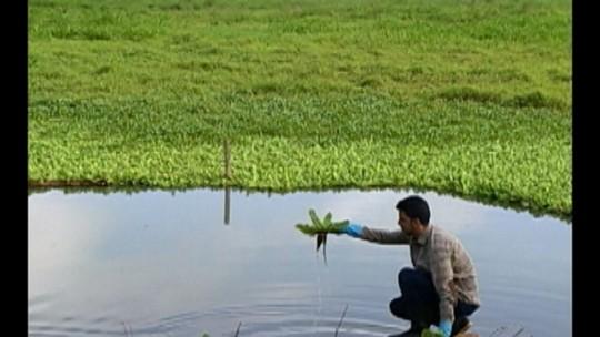 Pesquisa transforma em biogás as plantas do lago do Bolonha, em Belém