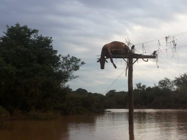 Animal foi parar em cima de um poste após cheia do Rio Uruguai em São Borja, no Rio Grande do Sul (Foto: Flávio Robalo/Arquivo Pessoal)