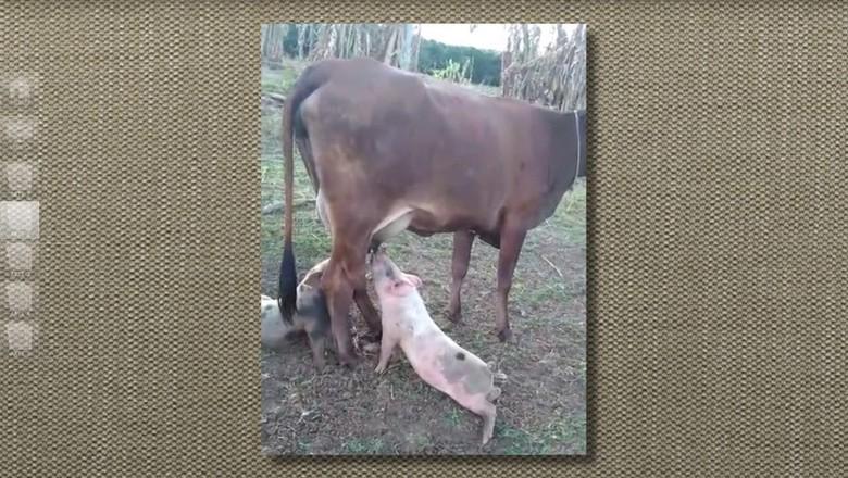 leitão-mamando-vaca (Foto: Reprodução/TV Globo)