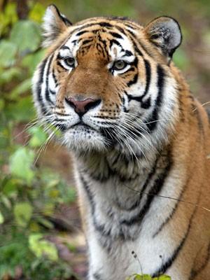 Rússia tem aumentado as penas para o tráfico de espécies ameaçadas de extinção, como os tigres de Amur (Foto: Vladimir Filonov/WWF)