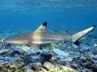 Hotel no Havaí coloca tubarões nas proximidades para 'educar' hóspedes