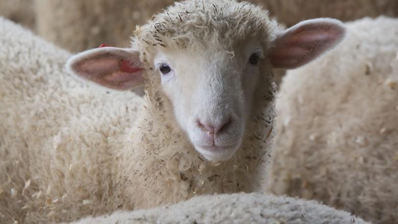 ovelha-ovinos-lã-raça-poll-dorset-morungaba-são-paulo (Foto: Marcelo Min/Ed. Globo)