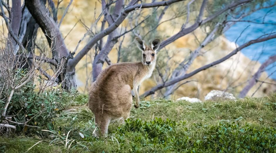Canguru (Foto: Pexels)