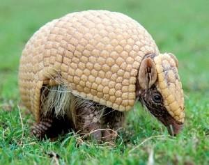 Tatu-bola, figura na lista vermelha dos animais ameaçados na categoria vulnerável. (Foto: Divulgação/ICMBio)