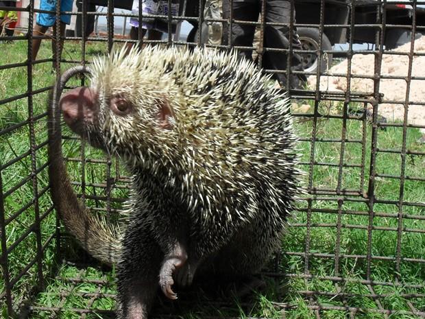 Animal, semelhante a um porco espinho, será encaminhado para o Cetas, em Cabedelo (Foto: Waldir Pereira/Polícia Ambiental)