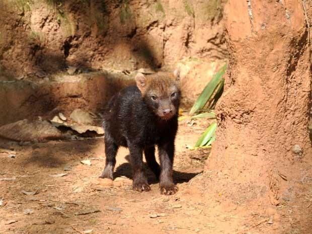 Espécie rara está ameaçada de extinção (Foto: Zoológico de Americana/ Divulgação)