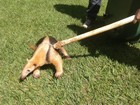 Falta de habitat leva animais silvestres à zona urbana de Uberlândia