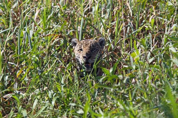 Do meio do matagal, é possível ver apenas a cabeça de um exemplar de onça-pintada (Foto: Divulgação/Douglas Trent/Projeto Bichos do Pantanal)