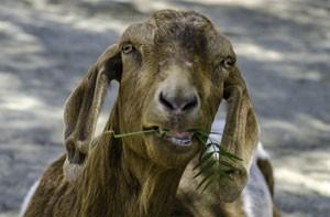 Homemadmitiu que manteve relações sexuais com cabra (Foto: Joe Klamar/AFP)