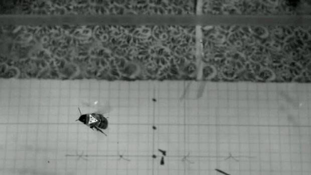 Cientistas analisam estabilidade de abelha em ventania com câmera lenta (Foto: BBC)