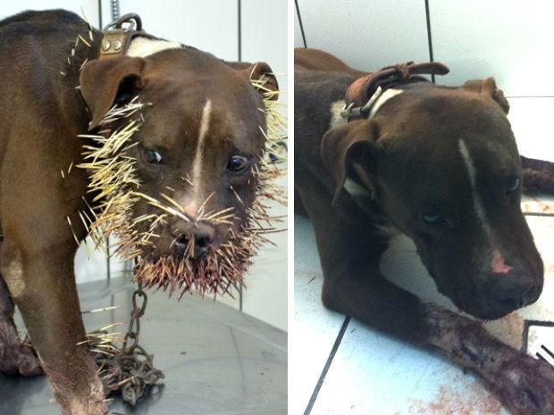 Animal foi atingido por cerca de mil espinhos (Foto: Arte com fotos de Maikon Leal/Coxim Agora e Antônio de Carvalho/Arquivo Pessoal)