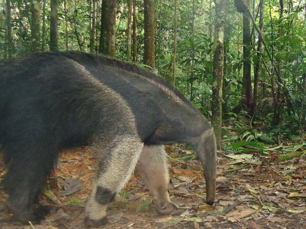 Espécime de tamanduá-bandeira captada por câmera fotográfica implantada na floresta. (Foto: Divulgação/Projeto Iauaretê/Instituto Mamirauá)