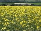 Flores da canola enfeitam os campos do Rio Grande do Sul