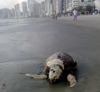 20 tartarugas foram encontradas mortas em quatro dias  (Foto: Acervo do Museu Oceanográfico da Univali)