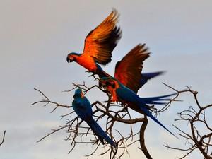 A Arara-Canindé é um dos símbolos oficiais do Tocantins (Foto: Clóvis Cruvinel/ Acervo pessoal)
