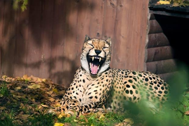 Em 2011, o russo Sergei Gladyshev fotografou um guepardo que parecia estar sorrindo no zoológico de Moscou, na Rússia (Foto: Barcroft USA/Getty Images)