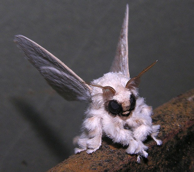 Imagem de 'mariposa-poodle' registrada por cientista do Quirguistão que trabalhava no Brasil (Foto: Arquivo Pessoal/Arthur Anker)