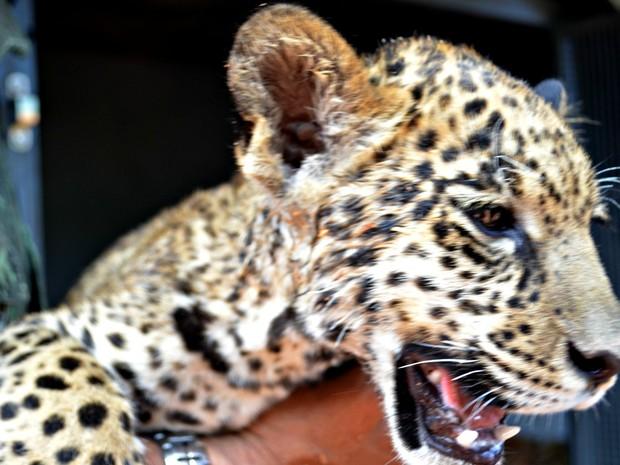 Animal foi encontrado às margens de estrada por uma família do município de Mâncio Lima, no interior do Acre (Foto: Aluizio Oliveira/Arquivo Pessoal)