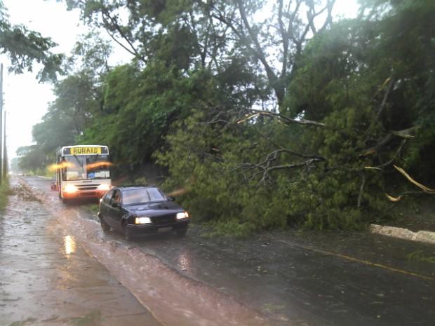 Acesso a bairro de Aparecida ficou interditado por queda de árvore (Foto: André Godinho/ TV Tem Bauru)