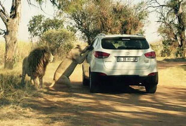 Animal usou janela aberta para se aproximar atacar americana de 29 anos durante safari em Johanesburgo, na África do Sul (Foto: Featureworld.co.uk)