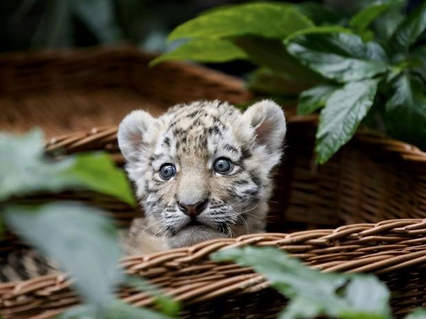 Tigre de semanas de idade, Alisha é apresentada ao público do Zoológico  Tierpark Friedrichsfelde, em Berlim (Foto: Reuters/Fabrizio Bensch)