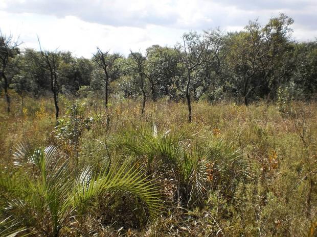 Árvores típicas do cerrado são importantíssimas para a medicina (Foto: Lepafe/Arquivo )