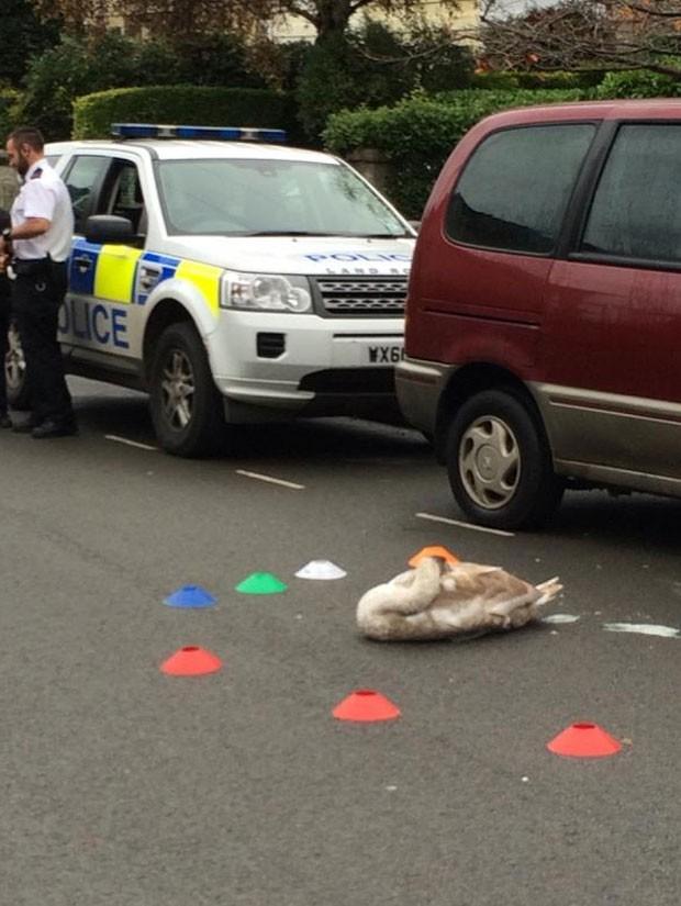 Cisne foi resgatado ao ser encontrado tirando soneca em estrada (Foto: Reprodução/Twitter/Matt Samuel)
