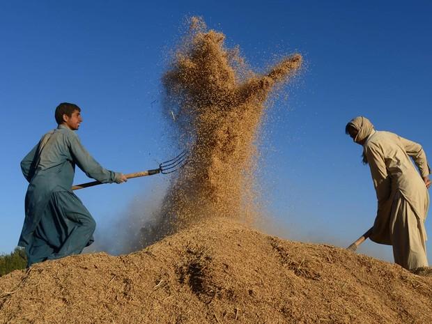 Jovens agricultores separam grãos de trigo em um campo de Herat, no Afeganistão (Foto: Aref Karimi/AFP)