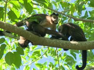 Febre amarela provocou morte de três macacos, em Campinas (Foto: Reprodução / EPTV)