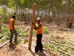 Quilombolas pegando madeira em Conceição da Barra (Foto: Reprodução/ TV Gazeta)