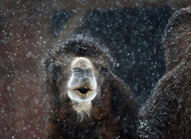 Ilusão de ótica fez 'focinho e boca' de camelo parecerem fantasma (Foto: Arne Dedert/DPA/AP)