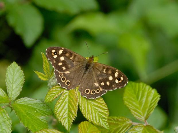 Conhecida como borboleta malhadinha, a espécie Pararge aegeria também corre risco de extinção (Foto: Jim Asher)