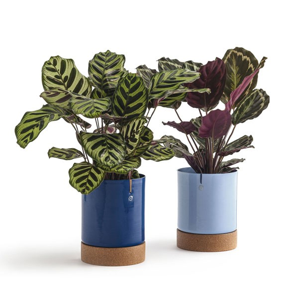 Plantas para dentro de casa (Foto: Divulgação/ Selvva)