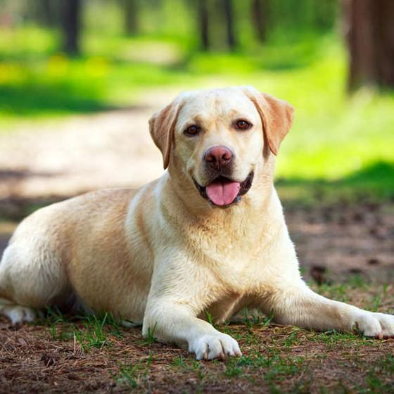 Cão,Labrador (Foto: Nika Petrova)